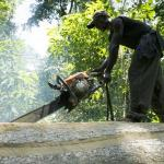 Незаконная вырубка лесов продолжается
