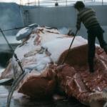 Мужчина разделывает кита.
