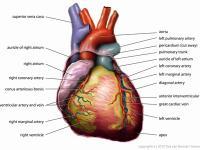Диета при сердечно-сосудистых заболеваниях